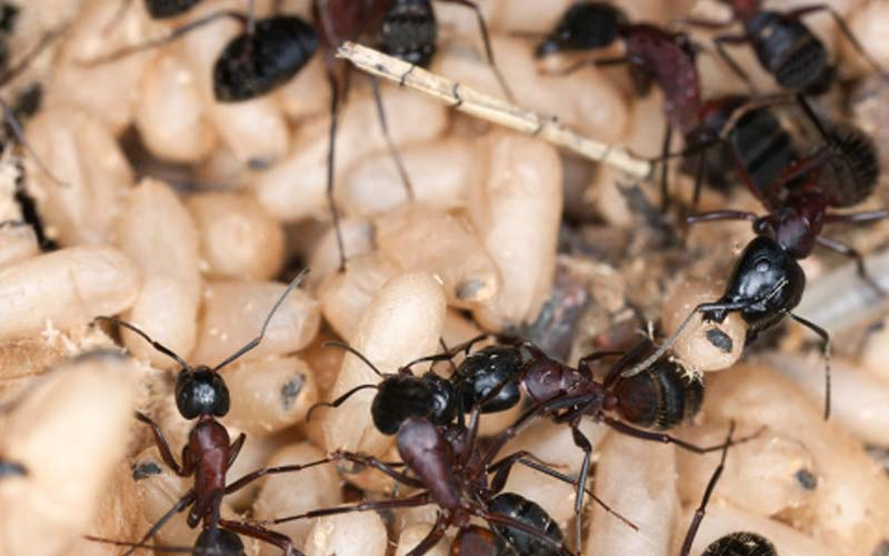 How to Identify Camponotus � More Commonly Known as Carpenter Ants