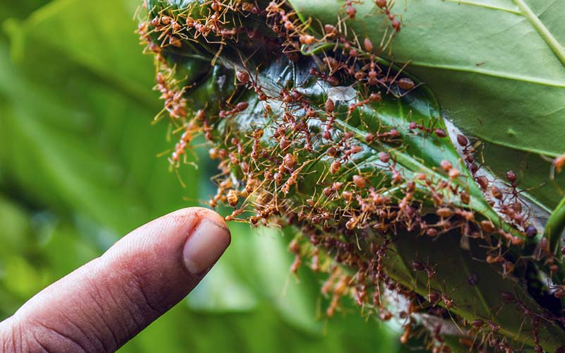 What Fire Ants Are and How to Remove Them