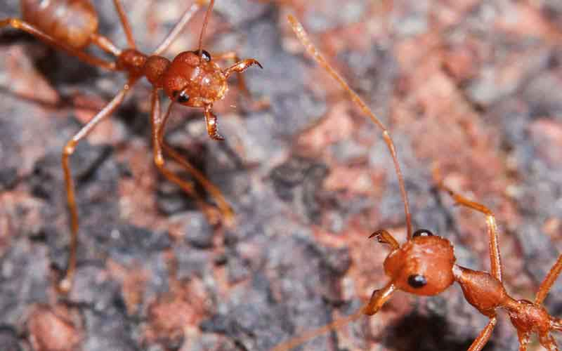 Four Reasons Fire Ant Removal Should Be Left to the Pros