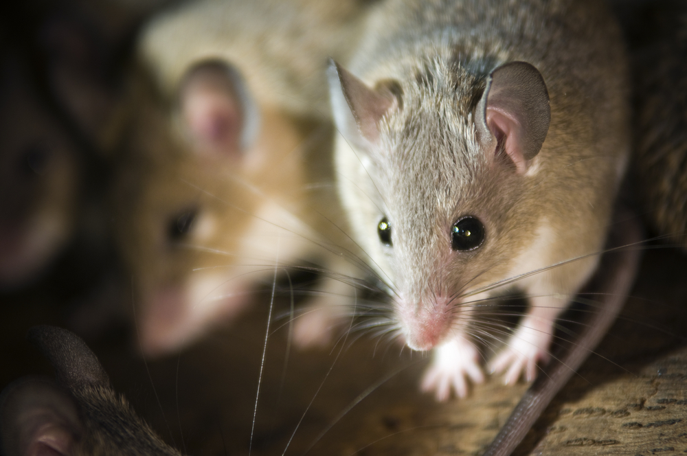 How To Get Rid Of Mice In Your Home: Mice Control