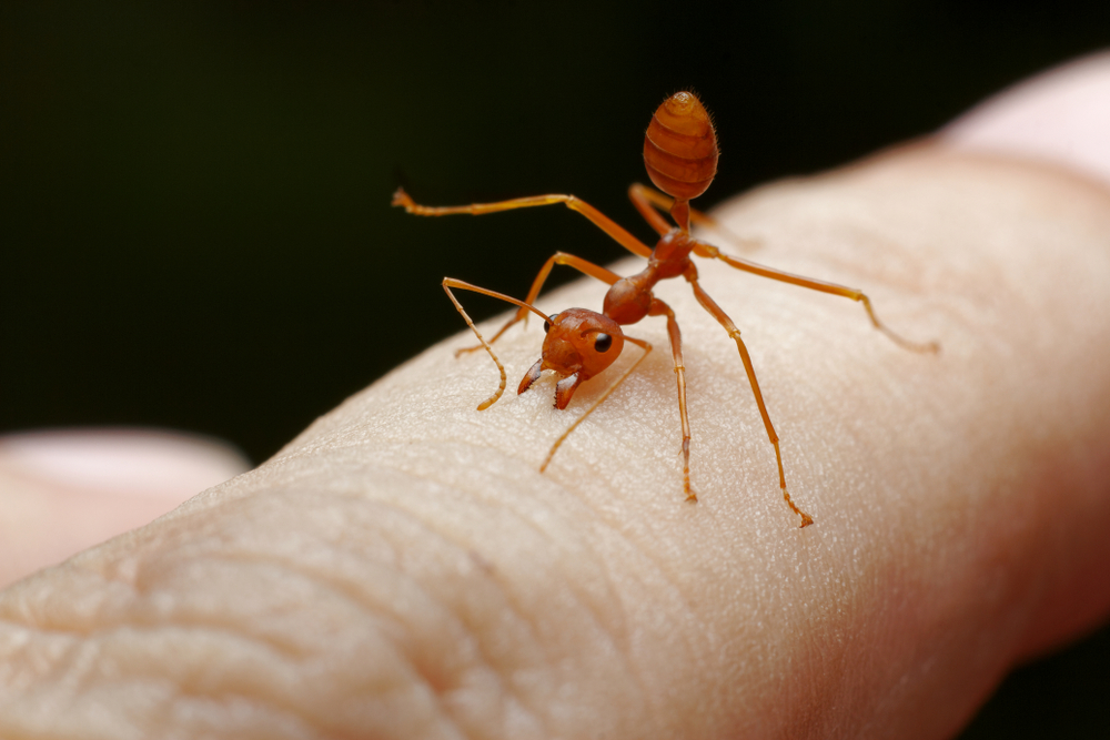 Can Ants Get You Sick? Pest Control For Ants